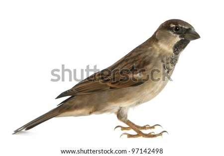 male House Sparrow - Passer domesticus (5 months old)