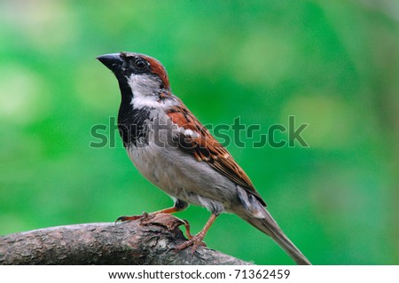 Male House Sparrow, (Passer domesticus), Ploceidae - stock photo