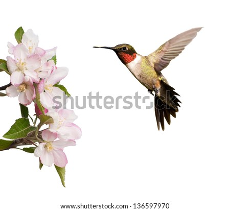 Male Hummingbird hovering next to light pink apple blossoms, isolated on white