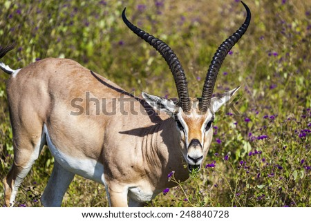 Male impala antelope in Tarangire national park in Tanzania Africa  - stock photo