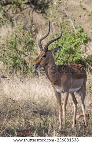 Male impala antelope with big antlers standing in the dry bush land of kalahari desert, Botswana, Africa - stock photo