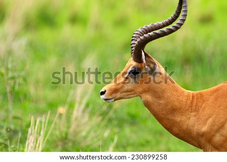 Male impala antilope in Tarangire national park in Tanzania Africa - stock photo