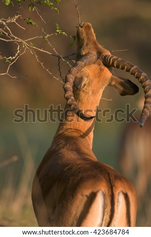 Male impala eating acacia leaves. Kruger National Park, South Africa. - stock photo