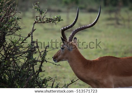 Male impala grazing in the bushes