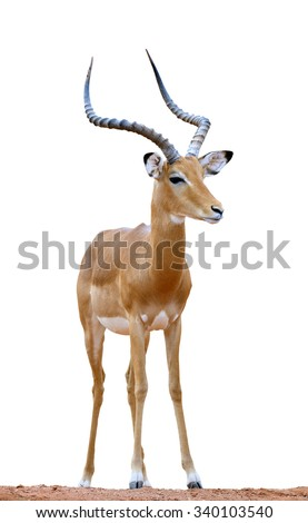 Male impala isolaterd on white background - stock photo
