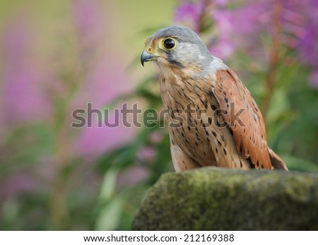 Male kestrel perched on a dry stone wall with pink flowers - stock photo