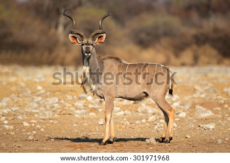 Male kudu antelope (Tragelaphus strepsiceros) in natural habitat, Etosha National Park, Namibia - stock photo
