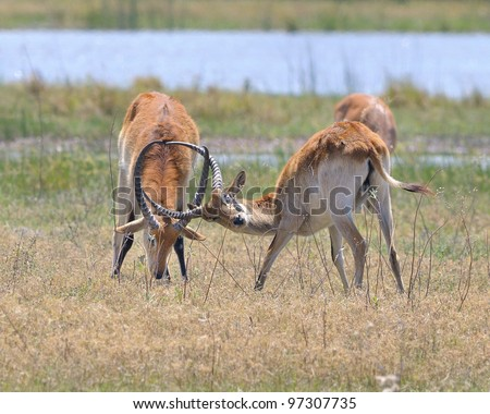 Male Lechwe sparring in Khwai area of Botswana, Africa - stock photo
