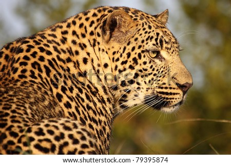 Male Leopard - stock photo