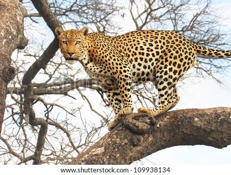 Male leopard in tree - stock photo