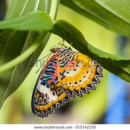 Male Leopard lacewing (Cethosia cyane euanthes) butterfly hanging under plant - stock photo
