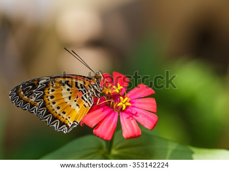Male Leopard lacewing (Cethosia cyane euanthes) butterfly resting on flower - stock photo