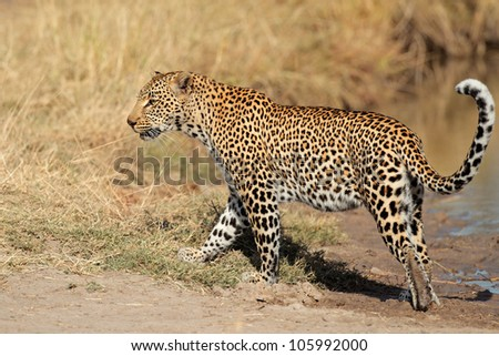 Male leopard (Panthera pardus) walking, Sabie-Sand nature reserve, South Africa