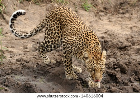 male leopard preparing to drink at water hole, Sabi Sand Game Reserve, South Africa