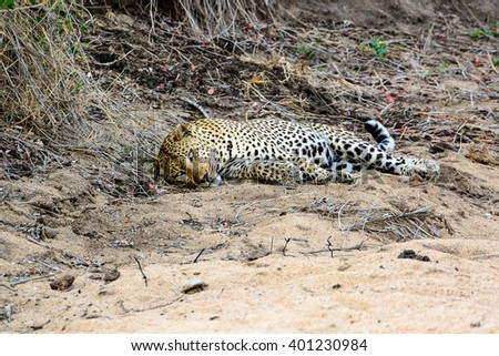 Male Leopard resting but still alert
