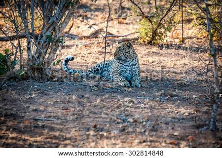 Male leopard sat under a tree at kruger national park - stock photo