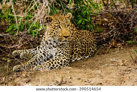 Male Leopard  watching attentively