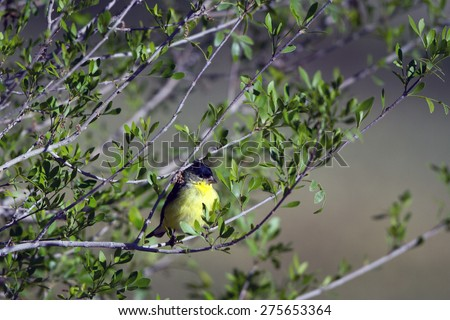 Male Lesser Goldfinch in southern Arizona in spring - stock photo