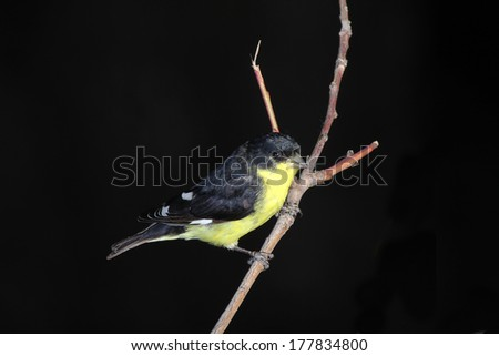"""Male Lesser Goldfinch (Spinus psaltria) """"Texas form"""" perched on tree branch with very dark background and copy space. - stock photo"""
