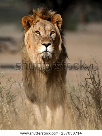 Male lion - stock photo