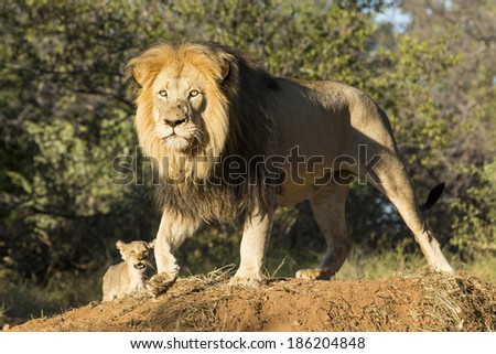 Male lion and a small cub South Africa - stock photo