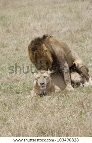 Male Lion and Lioness procreate in the Masai Mara - stock photo