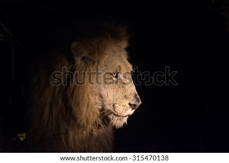 Male lion at night at a cape buffalo kill in Sabi Sands Game Reserve in greater Kruger National Park, South Africa