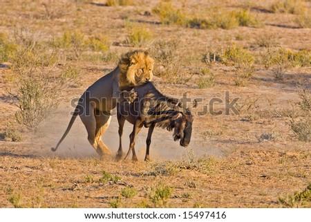 Male lion catching a blue wildebeest; Panthera leo; Kalahari desert; South Africa - stock photo