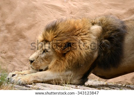 Male lion close to head show beauty face and hair