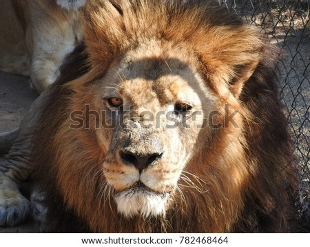 male lion close up
