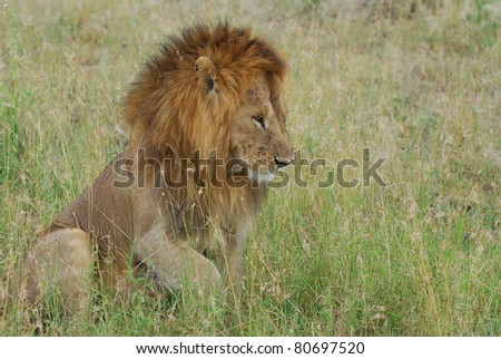 Male Lion Contemplating - stock photo