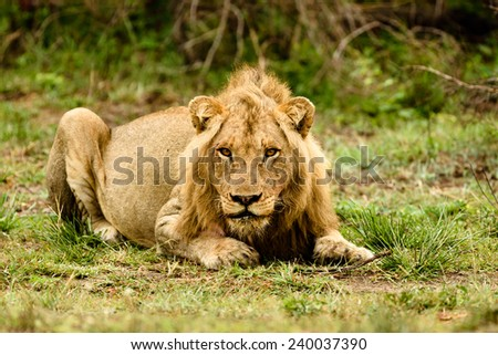 Male lion crouching facing the camera