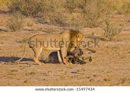 Male lion draging his prey; Panthera leo; Kalahari desert; South Africa - stock photo