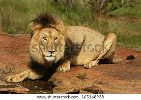 Male Lion drinking water - stock photo