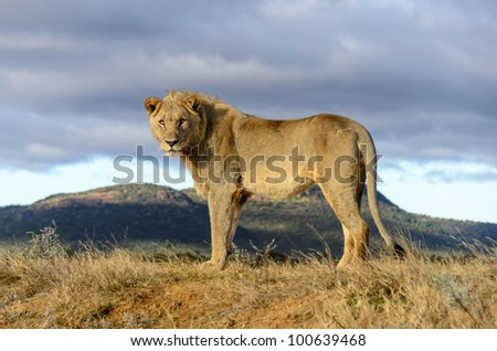 Male lion early in the morning in Madikwe Gamed Reserve South Africa - stock photo