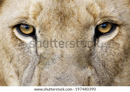 Male Lion Eyes / Closeup of Male Lion Eyes - stock photo