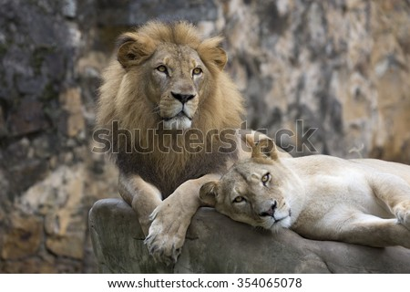 Male lion face resting on top of a rock - stock photo