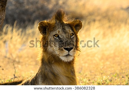 Male lion having a bad hair day  - stock photo