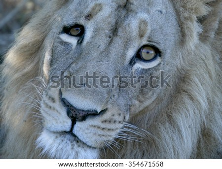 Male Lion Head Close up Botswana