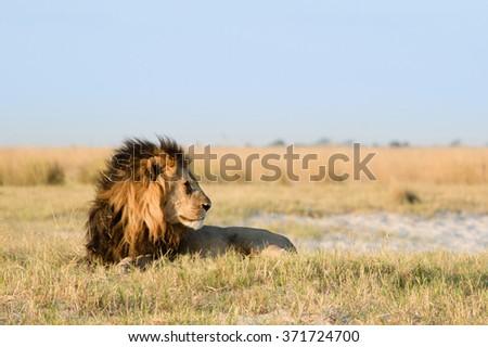 Male lion in African savanna - stock photo