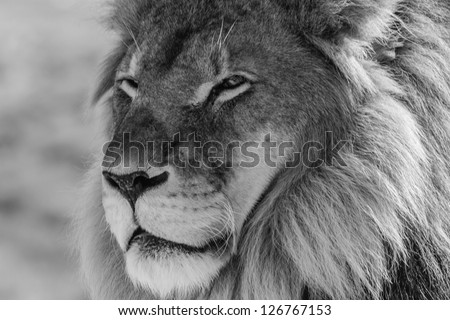 Black And White Lion S...