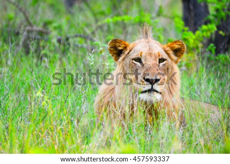 Male lion in Grass
