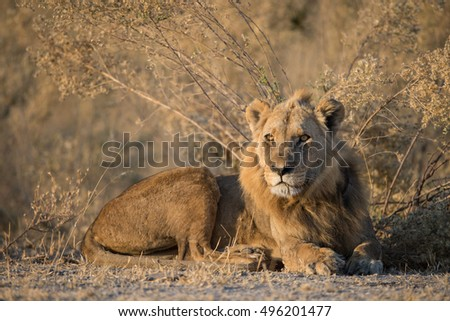 Male lion in morning light