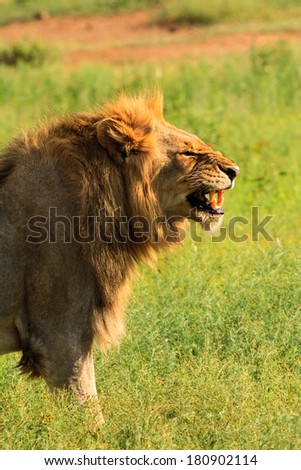 Male lion in profile baring his fangs - stock photo