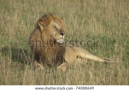 Male lion in sunset