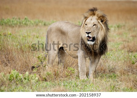 Male Lion in the Wild, on Liuwa Plains, Zambia, Africa