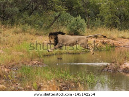 Male lion jumping over water - stock photo