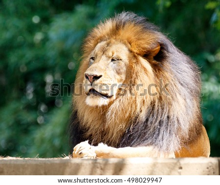 Male lion, King of the Jungle, seated in the sunlight