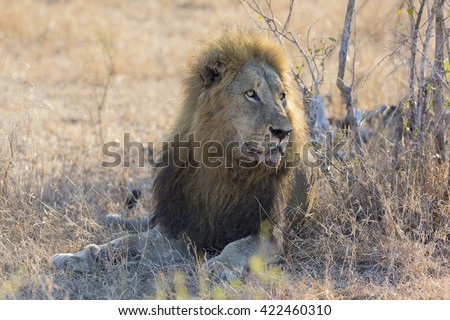 Male lion lay down to rest on gras after eating - stock photo