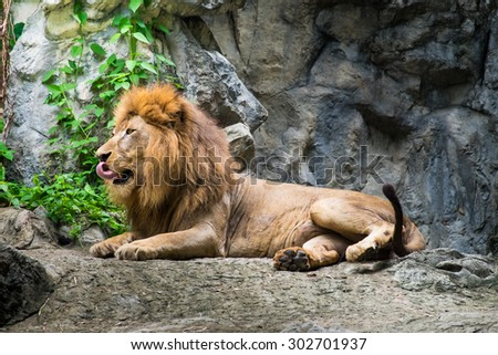 Male lion laying on the rock